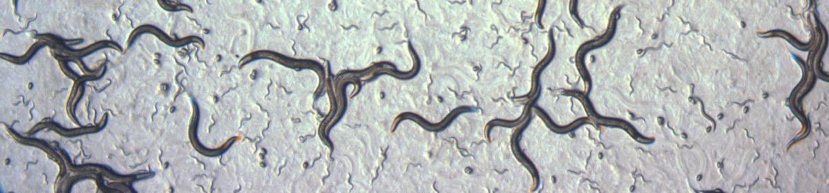 Nematode C. briggsae
